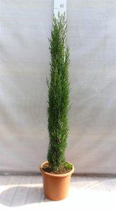 Cupressus Sempervirens Totem pot Ø 30cm - 12 Ltr - total height 140-160 cm