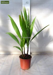 Washingtonia robusta Multistam pot Ø 15cm - total height 50-70 cm