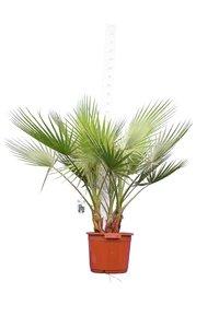 Washingtonia robusta Multistam pot Ø 40 cm - total height 130-150 cm