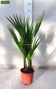 Washingtonia robusta Multistam pot Ø 18cm - total height 70-90 cm