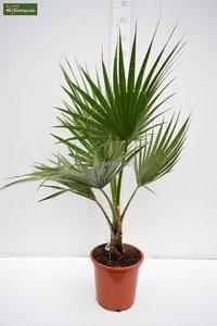 Washingtonia robusta pot Ø 26 cm - total height 100-130 cm