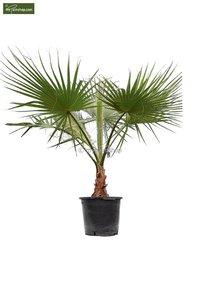 Washingtonia robusta trunk 30+ cm - pot Ø 45 cm - total heigth 160+ cm