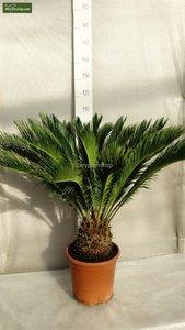 Cycas revoluta trunk 20 cm -  - pot Ø 35cm - total heigth 55-65 cm