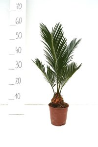 Cycas revoluta Ø 12 cm pot - total height 35-45 cm