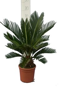 Cycas revoluta trunk 8+ cm - pot Ø 20 cm - total height 50-70 cm