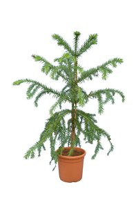 Araucaria angustifolia total height 120-140 cm