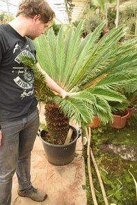 Cycas revoluta pot Ø 50 cm - trunk 50-60 cm