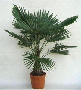 Trachycarpus fortunei stam 30-40 cm
