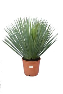 Yucca rostrata totale hoogte 60-80 pot Ø 21 cm