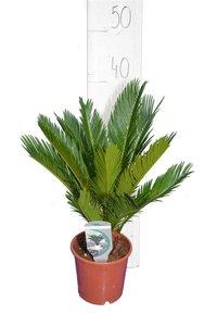 Cycas revoluta pot Ø 14 cm