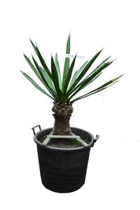 Yucca carnerosana trunk 30-40 cm [pallet]