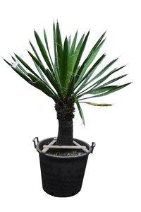 Yucca carnerosana trunk 40-50 cm [pallet]
