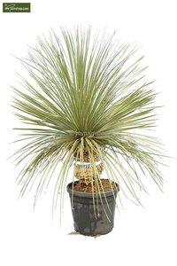 Dasylirion serratifolium trunk 20-30 [pallet]