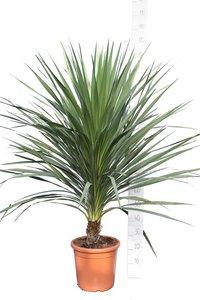 Cordyline australis total height 150-180 cm [pallet]