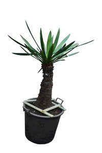Yucca faxoniana trunk 50-60 cm [pallet]