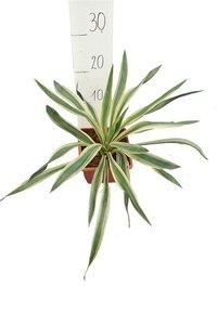 Yucca gloriosa Variegata 14x14 cm pot