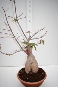 Brachychiton bidwillii pot Ø 40 cm [pallet]