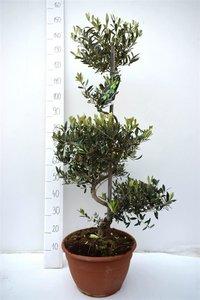 Olea europaea Bonsai pot Ø 38 cm