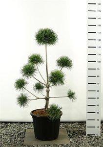 Pinus sylvestris multiplateau 125-150 cm [pallet]