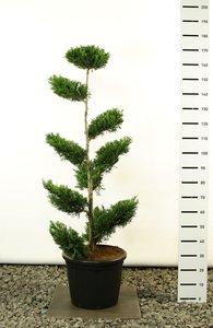 Cupressocyparis leylandii multiplateau extra - total height 170-200 cm [pallet]