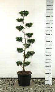 Cupressocyparis leylandii multiplateau flat - total height 200-225  cm [pallet]