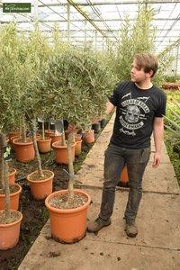 Olea europaea Bol op stam stam 80+ totale hoogte 170-190 cm