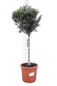 Olea europaea Bol op stam stamhoogte 30-40 cm stamomtrek 12-15 cm