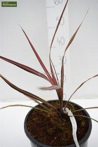 Cordyline australis Kiwi Dazzler
