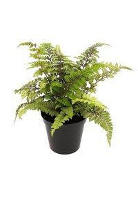 Athyrium niponicum Red Beauty pot 0,7 ltr
