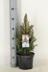 Picea glauca Sander's Blue pot Ø 19cm - 3 ltr