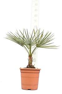 Chamaerops humilis Cerifer total height 50-70 cm