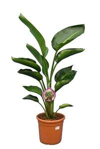 Strelitzia nicolai - total height 100-120 cm - pot Ø 24 cm - 2 plants per pot