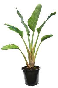 Strelitzia nicolai - total height 160-180 cm - pot Ø 38 cm - 3 plants in a pot [pallet]