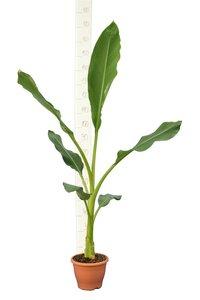 Musella lasiocarpa pot Ø 23 cm