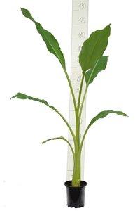 Musella lasiocarpa pot Ø 15 cm