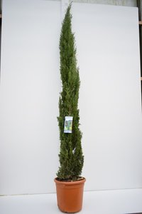 Cupressus sempervirens - total height 240+ cm - pot Ø 35 cm / 25 ltr - [pallet]