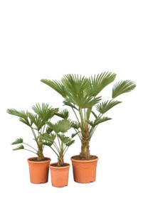 Trachycarpus wagnerianus Frosty - Set van 3: 1 x 50-70 - Ø 23 cm & 1 x 70-90- Ø 26 cm & 1 x 100-120 -Ø 30 cm 100-