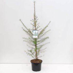 Larix decidua - total height 100-120 cm - pot 5 ltr