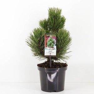 Pinus heldreichii Compact Gem - total height 40-50 cm - pot 3 ltr