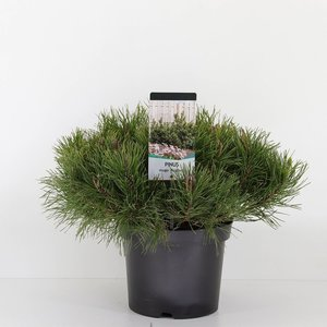 Pinus mugo mughus - total heigth 40-50 cm - pot 3 ltr