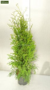 Thuja occidentalis Brabant (CONTAINERPLANT) 5 ltr pot - total height 80-100 cm
