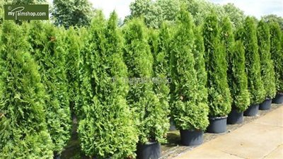 Thuja occidentalis Smaragd (CONTAINERPLANT) 15 Ltr pot [pallet]