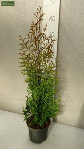 Thuja occidentalis Brabant (CONTAINERPLANT) 2 ltr pot - total height 50-70 cm