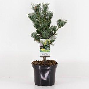 Pinus parviflora Glauca - total height 50-60 cm - pot 3 ltr