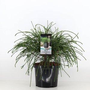 Thuja plicata whipcord - total height 40+ cm - pot 5 ltr