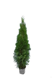 Thuja occidentalis Smaragd (CONTAINERPLANT) - total height 100-120 cm - pot 7.5 ltr