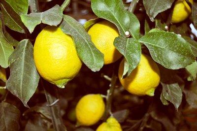 Citrus limon - total heigth 200+ cm - pot Ø 55 cm [pallet]