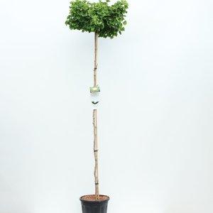 Ginkgo Biloba trunk - total height 200+ cm - pot 18 ltr [Pallet]