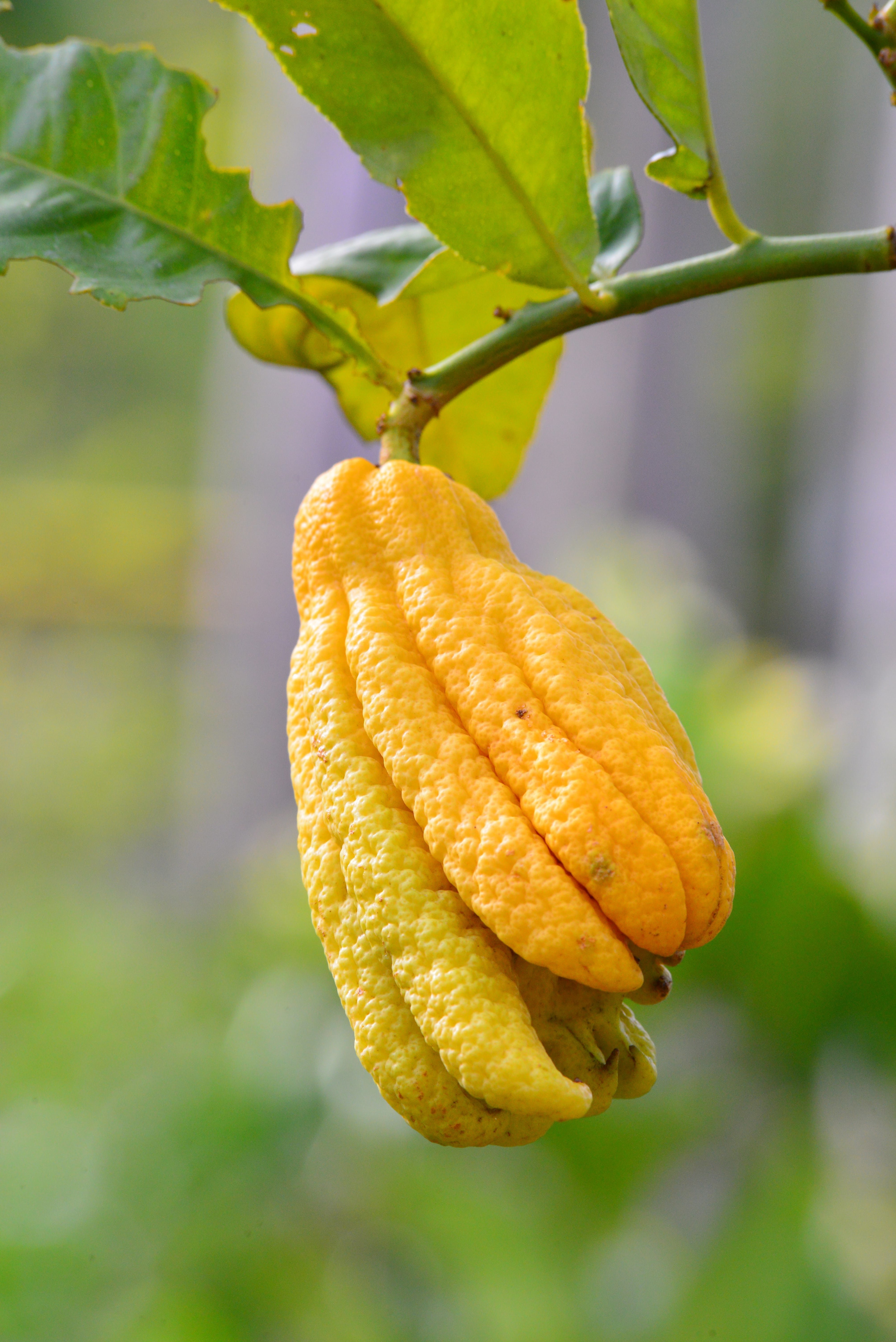 Citrus medica Digitata - total height 160-180 cm - pot Ø 35 cm
