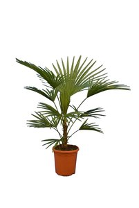 Trachycarpus sp. Nova - stam 20-30 cm - total height 100-120 cm - pot Ø 26 cm